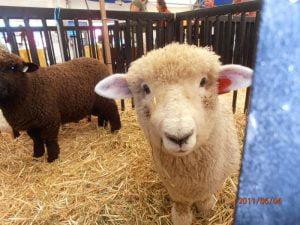 Thompson Romney lambs