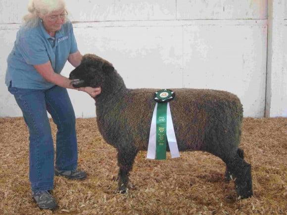 Champion Natural Color Ewe