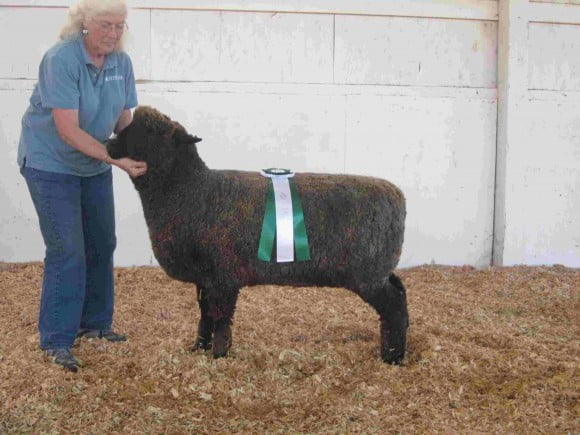 Reserve Champion Natural Colored Ewe