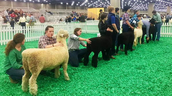 American Romney Breeders Association Juniors