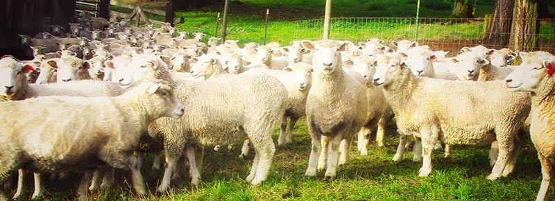 American Romney Breeders Association Membership