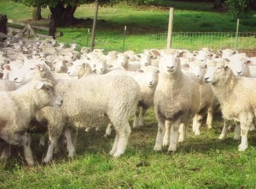 American Romney Breeders Association Sheep