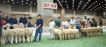 American Romney Breeders Association Show Ring