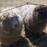 2 Registered Proven Romney Rams for Sale